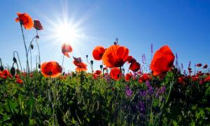 Poppies with blue sky